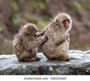 Snow monkeys grooming, Japan, Jigokudani
