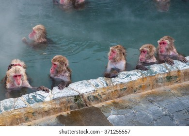 Snow Monkeys in hot spring (or onsen) in Hakodate city, Hokkaido ,Japan