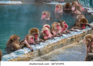 Snow monkeys (Japanese macaque) relaxing   in a hot spring pool (onsen) ,Hakodate ,Japan.