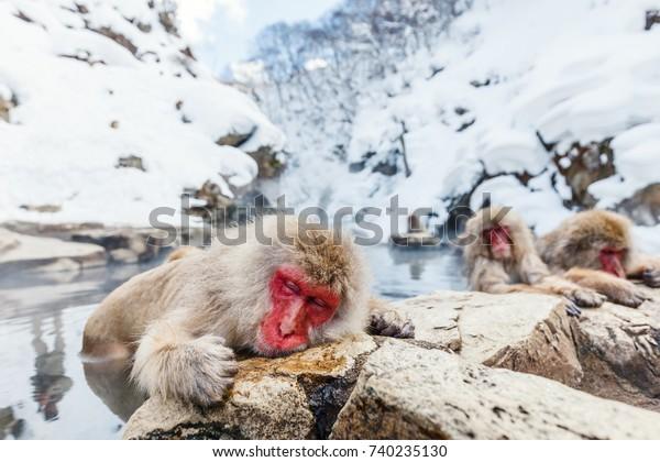 日本・長野温泉にすむスノーモンキー