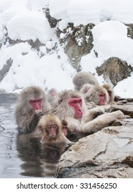 Snow monkeys (Japanese Macaques) in the onsen hot springs of Nagano, Japan.