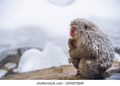 Snow monkeys (Japanese Macaques) shivers and hug with baby monkey and family while snow fall in winter at Jigokudani Monkey Park, Nagano, Japan