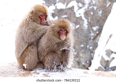 Snow monkeys from Jigokudani Monkey Park in Japan.  As a snow monkey entering a hot spring, It is widely known to people all over the world.