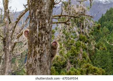 snow monkeys macaques sitting on a tree in Japan