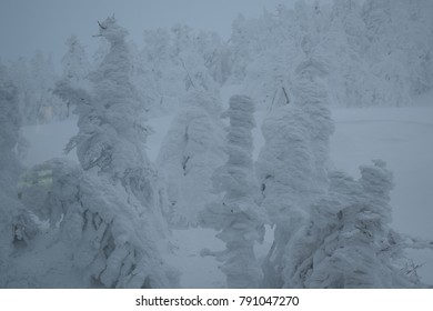 Snow Monsters; tree covered in heavy snow