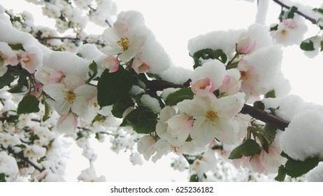 Snow on apple blossoms