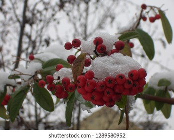Snow on berries in winter in England