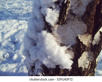 The snow on the birch bark