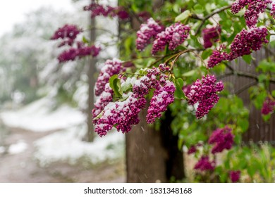 Snow on blooming spring