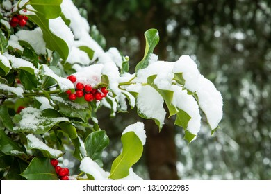 Snow on a branch of holly leaves and red berries