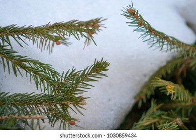 snow on the branches of spruce