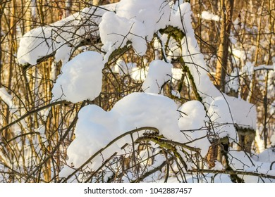 Snow on the branches of trees in the forest in winter