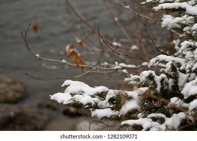 Snow on a bush by the Clark Fork river, Missoula, MT