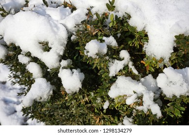 Snow on the bush leaves