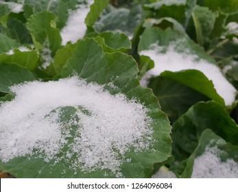 Snow on cabbage in the wintergarden