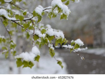 Snow on the green leaves. Spring. Russia. Far East.