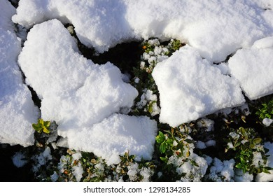 Snow on the leaves of a bush