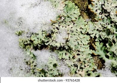 snow on lichen, macro