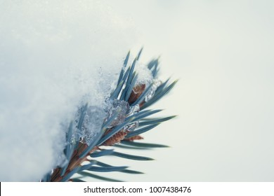 the snow on the needles of the fir trees close up