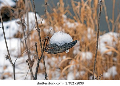 Snow on an Old Milkweed Pod in Busse Woods Preserve in Illinois