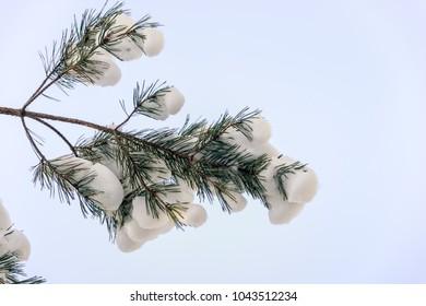 Snow on a pine branch. Winter sketch.