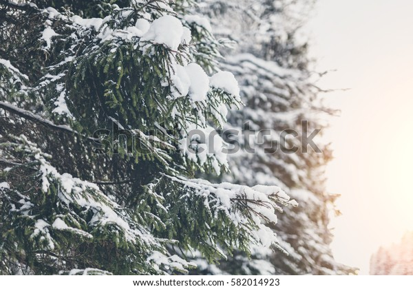 Snow on pine branches.
