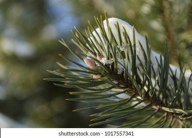 Snow on spruce needles on a sunny day or a fir branch in the snow.