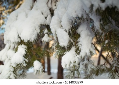 snow on spruce in sunny winter day