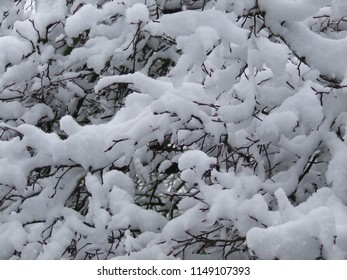 snow on thin branches
