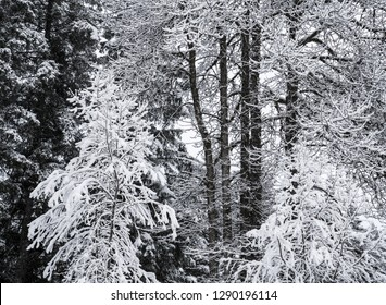 Snow on three different types of trees in a forest.