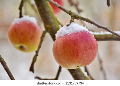 Snow on top of apples on a tree