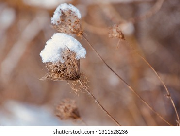 Snow on top of the dried flower in winter