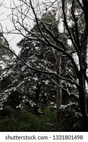 Snow on tree at kasauli