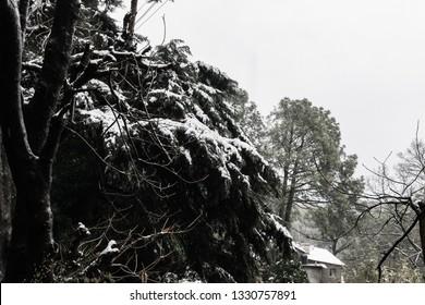 snow on trees at kasauli