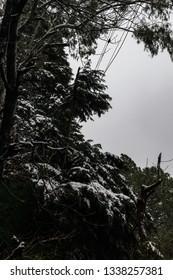 snow on trees at kasauli.