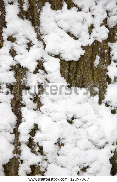 Snow on the trunk of an Oak tree