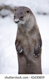 Snow Otter. Otter outside with snow on nose. Vertical format.