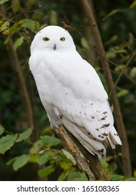Snow owl resting in it's natural habitat
