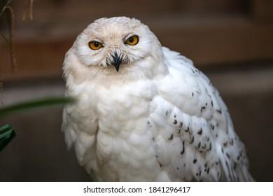 Snow Owl (Schnee-Eule (Bubo scandiacus, Bubo scandiaca, Nyctea scandiaca, Schneeeule) - Shutterstock ID 1841296417