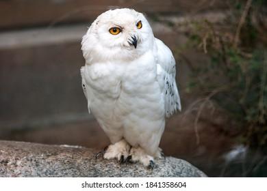 Snow Owl (Schnee-Eule (Bubo scandiacus, Bubo scandiaca, Nyctea scandiaca, Schneeeule) - Shutterstock ID 1841358604