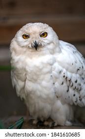 Snow Owl (Schnee-Eule (Bubo scandiacus, Bubo scandiaca, Nyctea scandiaca, Schneeeule) - Shutterstock ID 1841610685