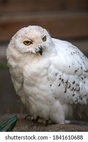 Snow Owl (Schnee-Eule (Bubo scandiacus, Bubo scandiaca, Nyctea scandiaca, Schneeeule) - Shutterstock ID 1841610688