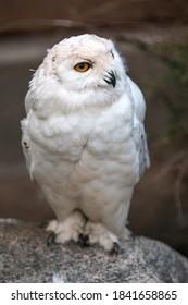 Snow Owl (Schnee-Eule (Bubo scandiacus, Bubo scandiaca, Nyctea scandiaca, Schneeeule) - Shutterstock ID 1841658865