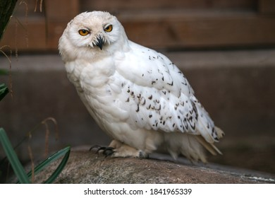 Snow Owl (Schnee-Eule (Bubo scandiacus, Bubo scandiaca, Nyctea scandiaca, Schneeeule) - Shutterstock ID 1841965339
