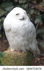 Snow Owl (Schnee-Eule (Bubo scandiacus, Bubo scandiaca, Nyctea scandiaca, Schneeeule) - Shutterstock ID 1844753476