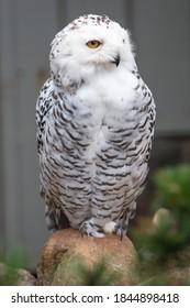 Snow Owl (Schnee-Eule (Bubo scandiacus, Bubo scandiaca, Nyctea scandiaca, Schneeeule) - Shutterstock ID 1844898418