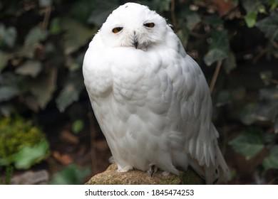 Snow Owl (Schnee-Eule (Bubo scandiacus, Bubo scandiaca, Nyctea scandiaca, Schneeeule) - Shutterstock ID 1845474253