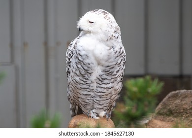 Snow Owl (Schnee-Eule (Bubo scandiacus, Bubo scandiaca, Nyctea scandiaca, Schneeeule) - Shutterstock ID 1845627130