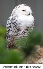 Snow Owl (Schnee-Eule (Bubo scandiacus, Bubo scandiaca, Nyctea scandiaca, Schneeeule) - Shutterstock ID 1845705082