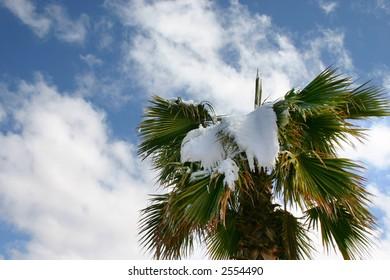 snow palm